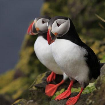 Artic Birds